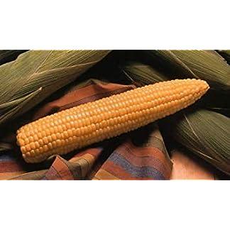 PLAT-FIRM-50-Samen-von-Mais-Honig-Elect-weet-Corn