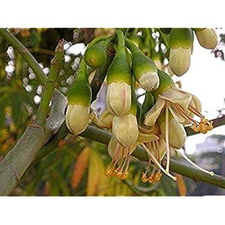 vegherb-10-Seeds-Kapokbaum-Kapok-Baum-Silk-Cotton-Tree