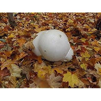 Portal-Cool-Samen-Paket-Siles-Zentrifugenrhrchen-n-Stubling-nbovist-Mushroom-Kultur-Agar-Keil