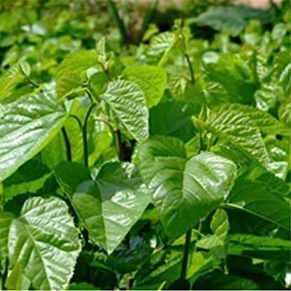 60g-0132LBMulberry-Bltter-Tee-chinesische-Kruter-detox-Tee-Maulbeere-Tee-Vorteile-fr-Bauch-sli-Krutertee-duftenden-Tee-Botanischer-Tee-Kruter-Tee-Grner-Tee-Roh-Tee-Blumen-Tee-Chinesischer-Tee