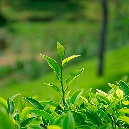 250g-055LB-Bestnote-100-Jasmin-dargon-Perlen-Tee-Organische-Jasmin-Blume-Grner-Tee-Grnes-Lebensmittel-Gesunder-Tee-duftender-Tee