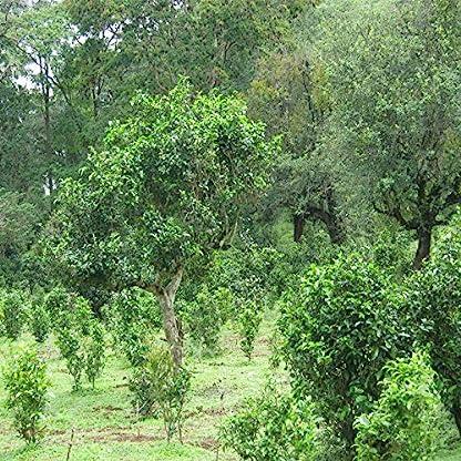 100g-022LB-China-Yunnan-Puer-tee-gekocht-tee-chrysantheme-geschmack-Schwarzer-tee-Puer-tee-Chinesischer-tee-Pu-er-tee-Reife-tee-shu-cha-Puerh-tee-Pu-erh-tee-Pu-erh-tee-chrysantheme-tee