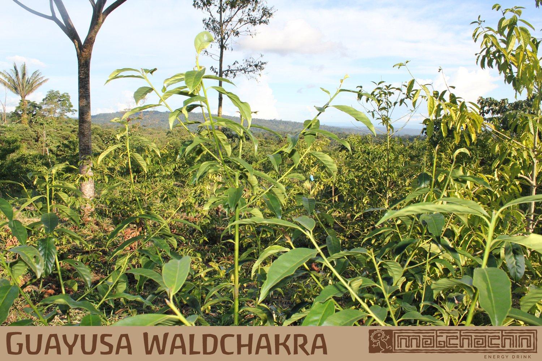 Guayusa-Energytee-von-Matchachin-Das-Original-100g-Ilex-Guayusa-Lose-Bltter-geschnitten-Leistung-Ausdauer-Konzentration-Der-Energytee-der-Quichua-Indianer-mit-Koffein-und-L-Theanin